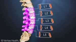 Lumbar Spine Segments_L1 to L5