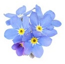 3-forget-me-nots